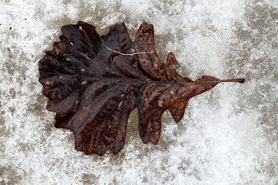 Photograph - Frozen Oak by Rick Rauzi