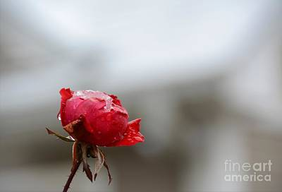 Photograph - Frozen Red Rose- Macro by Adrian DeLeon
