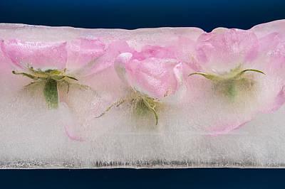 Frozen Rosa Canina - Cristina Velina Ion Original by Cristina-Velina Ion