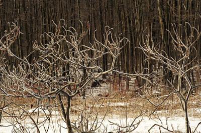 Photograph - Frozen Sumacs by Elaine Mikkelstrup