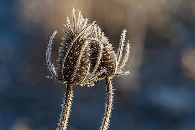 Photograph - Frozen Thistles by Wes and Dotty Weber