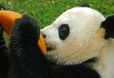 Photograph - Frozen Treat For Mei Xiang The Giant Panda by Emmy Vickers