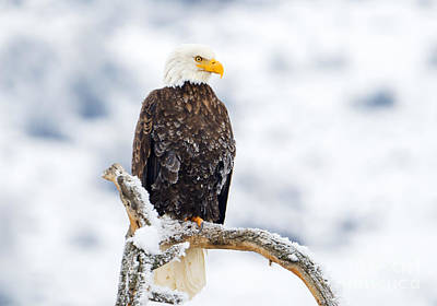 Eagle Photograph - Frozen Watch by Mike Dawson