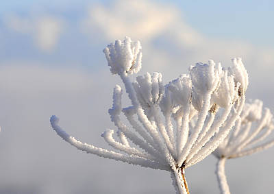 Wolf Digital Design Photograph - Frozen Weed by Svetlana Sewell