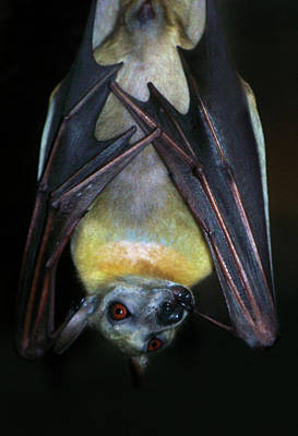 Art Print featuring the photograph Fruit Bat by Anthony Jones
