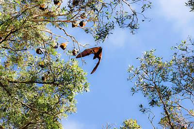 Photograph - Fruit Bat Bats Its Wings by Miroslava Jurcik