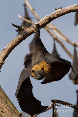 Photograph - Fruit Bat Hanging by Craig Dingle
