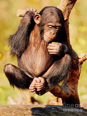 Photograph - Fruit-eating Baby Chimp In A Tree by Nick  Biemans