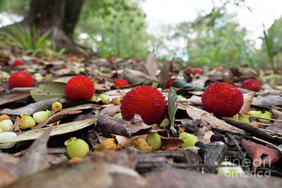 Photograph - Fruit Of Strawberry Tree On Forest Floor by Perry Van Munster