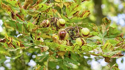 Photograph - Fruit Of The Horse Chestnut Tree Opening A by Jacek Wojnarowski