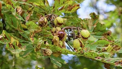Photograph - Fruit Of The Horse Chestnut Tree Opening C by Jacek Wojnarowski