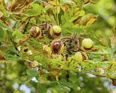 Photograph - Fruit Of The Horse Chestnut Tree Opening E by Jacek Wojnarowski