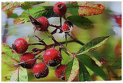 Fruit Of The Wild Rose Art Print
