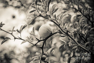 Photograph - Fruit Tree by Ana V Ramirez