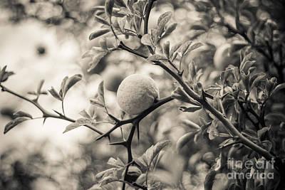 Photograph - Fruit Tree by Ana V Ramirez
