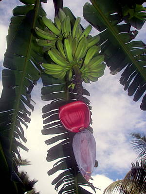 Banana Photograph - Fruitful Beauty by Karen Wiles