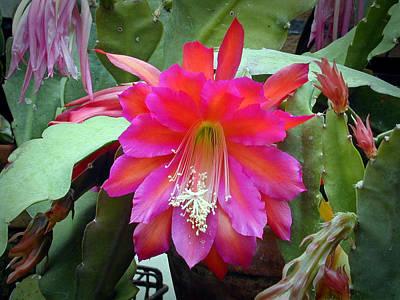 Fuchia Cactus Flower Art Print by Douglas Barnett