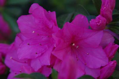 Photograph - Fuchsia Azaleas by Robyn Stacey