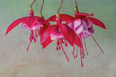 Photograph - Fuchsia Cluster #4 by Patti Deters