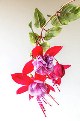 Photograph - Fuchsia Cluster by Patti Deters