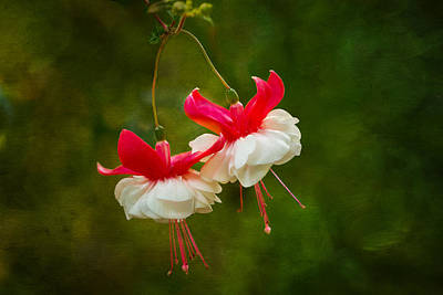 Photograph - Fuchsia Dance by Mary Jo Allen