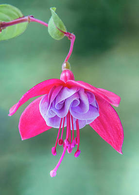 Photograph - Fuchsia Flower Study #1 by Patti Deters