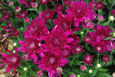 Photograph - Fuchsia Mums by Robyn Stacey