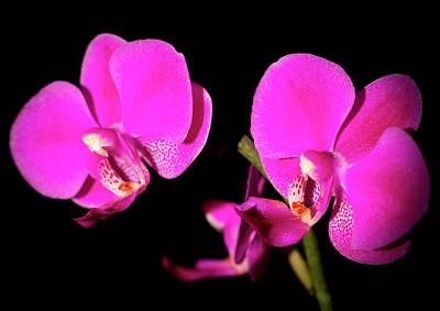 Photograph - Fuchsia Orchids by Cristina Stefan
