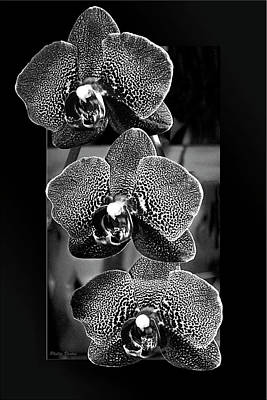 Photograph - Three Orchids Oof B/w by Phyllis Denton