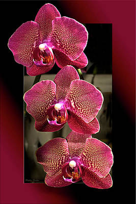 Fuchsia Orchids Oof Art Print by Phyllis Denton