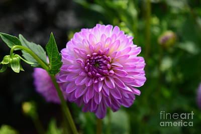 Photograph - Fuchsia Pink Dahlia  by Jeannie Rhode