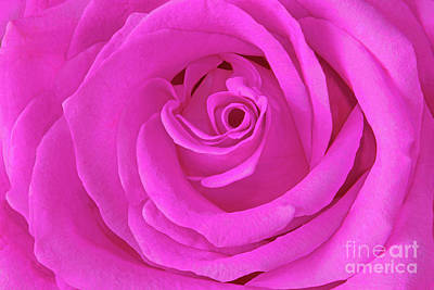 Royalty-Free and Rights-Managed Images - Fuchsia-Pink Rose Portrait by Regina Geoghan