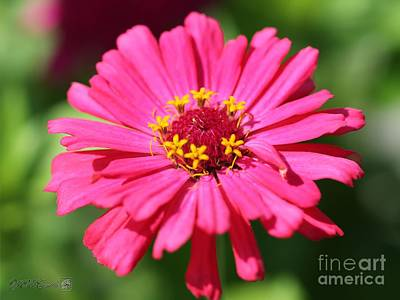Photograph - Fuchsia Pink Zinnia From The Whirlygig Mix by J McCombie
