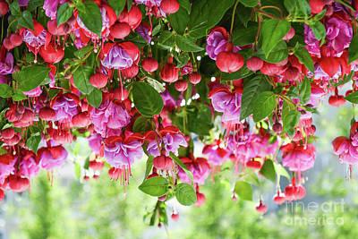 Photograph - Fuchsia by Zaira Dzhaubaeva