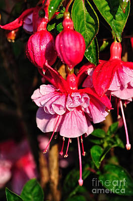 Fuchsias With Droplets Art Print by Kaye Menner