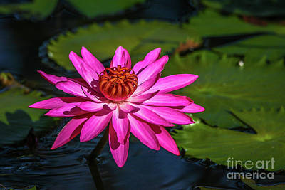 Photograph - Fucia Water Lily by Tom Claud