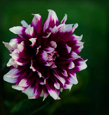 Photograph - Fuffled Petals by Cherie Duran