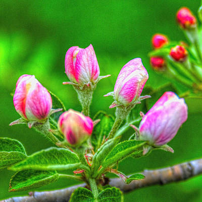 Photograph - Fuji Apple Blossom Buds by Roger Passman