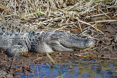 Photograph - Full And Happy Alligator by Debra Martz