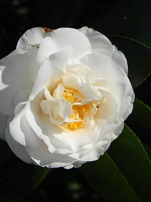 Full Bloom Camellia Original