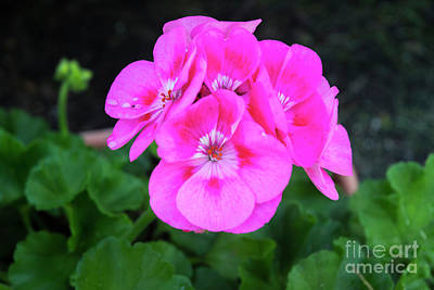 Photograph - Full Bloom Geranium by Ruth H Curtis