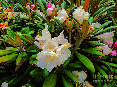 Photograph - Full Bloom by Mim White
