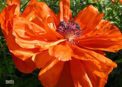 Full Bloom Orange Poppy Art Print by Tina M Wenger