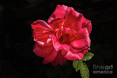 Photograph - Full Bloom by Robert Bales