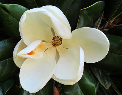 Full Bloomed Magnolia Art Print by Tina M Wenger