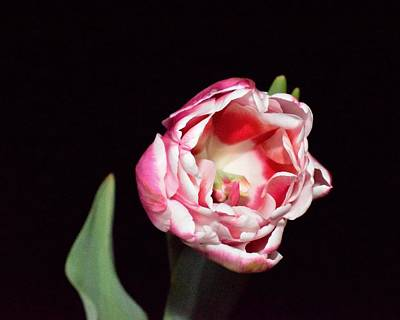Photograph - Full Blooming Tulip On Black by Lynda Anne Williams