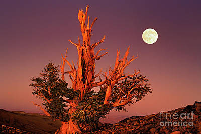 Art Print featuring the photograph Full Moon Behind Ancient Bristlecone Pine White Mountains California by Dave Welling