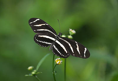 Photograph - Full Wing Spread - Zebra Longwing Butterfly by rd Erickson
