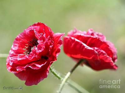 Photograph - Fully Double Red Poppy From The Angel's Choir Mix by J McCombie