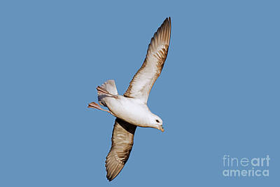 Photograph - Fulmar by Arterra Picture Library